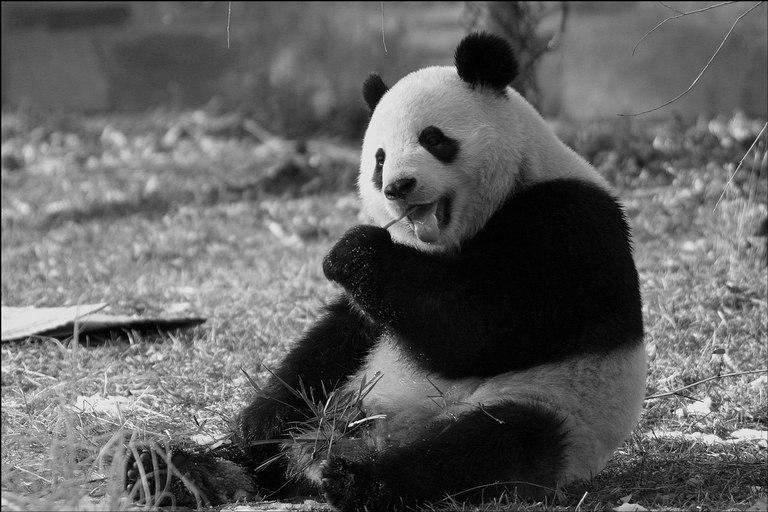 Grégorini s'en va, Letizi revient Panda-10