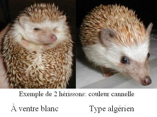 Qu'est-ce qu'un hérisson algérien? 2_heri10