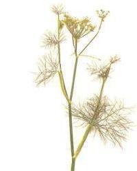 أعشاب و نباتات ذات غايات تجميلية Herbs_10
