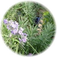 أعشاب و نباتات ذات غايات تجميلية Herbs_11