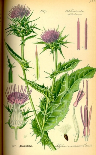 أعشاب و نباتات ذات غايات تجميلية Milk-t11