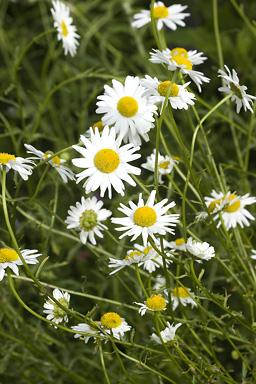 أعشاب و نباتات ذات غايات تجميلية Roman-10