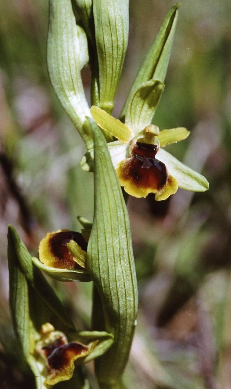 ophrys araneola * passionis File0010