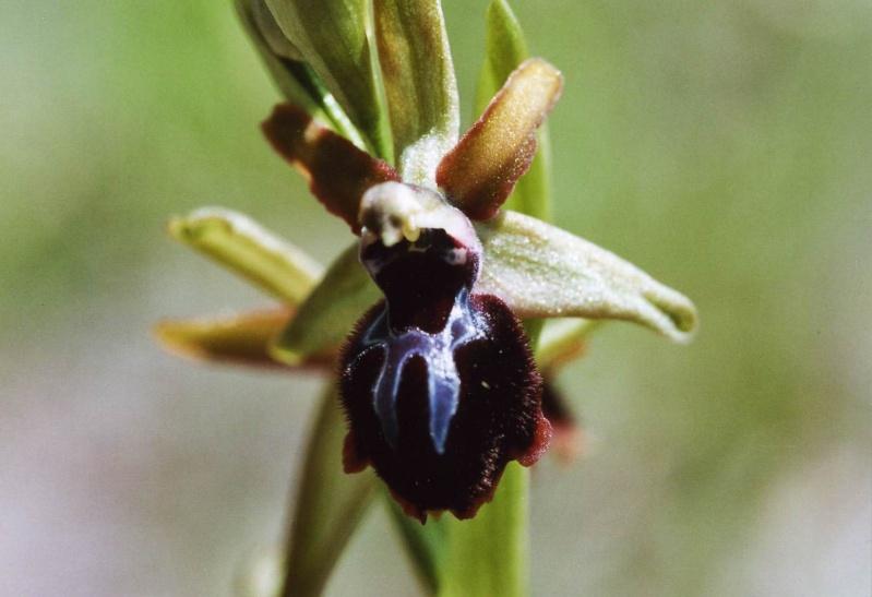 ophrys araneola * passionis File0011
