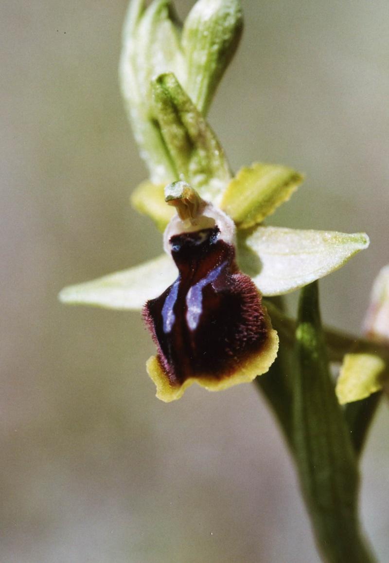 ophrys araneola * passionis Hybrid10