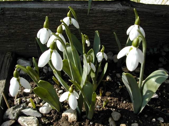 en fleur en ce moment : Galanthus caucasicus Dscn3010