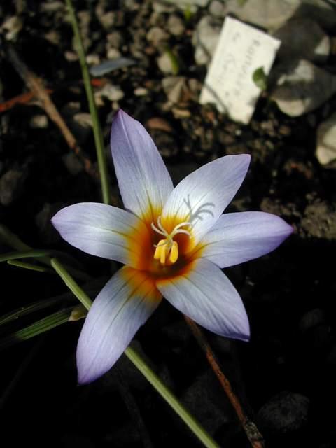 Une romulée à Floraison hivernale, du Maroc Dscn5315