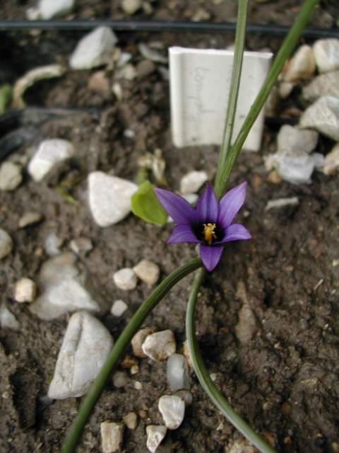 Une romulée à Floraison hivernale, du Maroc Romule10