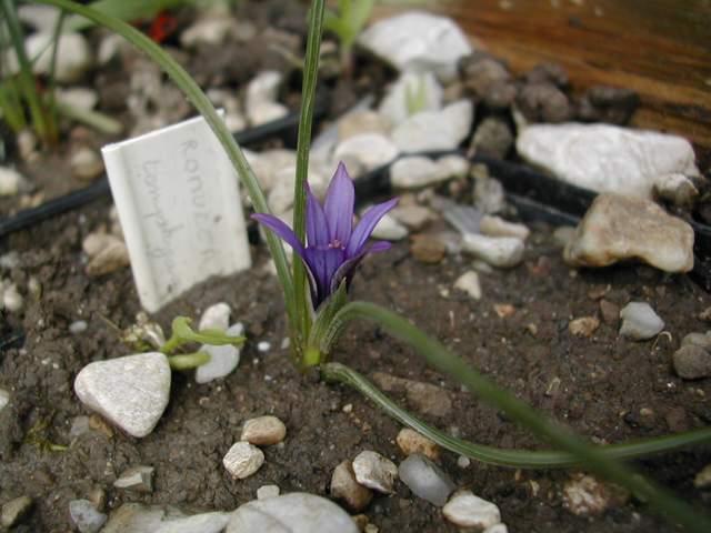Une romulée à Floraison hivernale, du Maroc Romule11