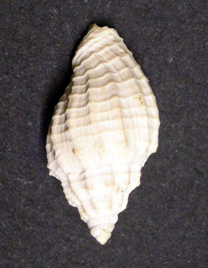 [résolu]Plejona musicalis (Lamarck, 1802) juvénile. Voluta10