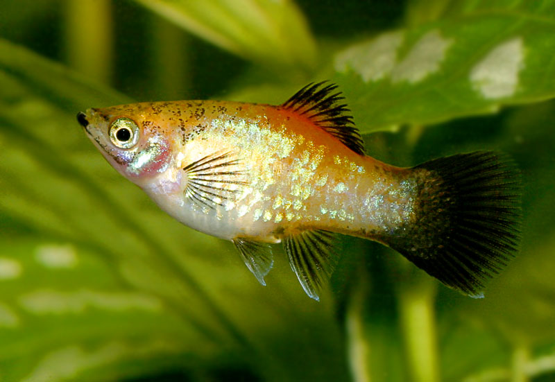 Meany, the Platy... Platy10