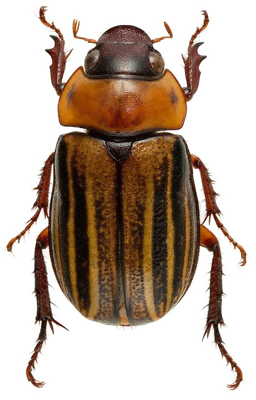 Rutelidae Geniatini Trizogeniates sp. de Guyane _296012