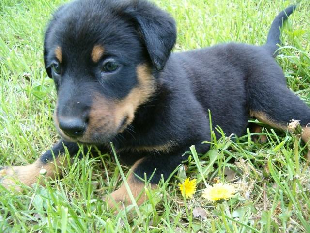 Chien beauceron bebe - Image bebe chien ...