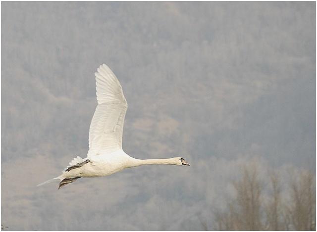 Un fil sur les oiseaux! Cygne110