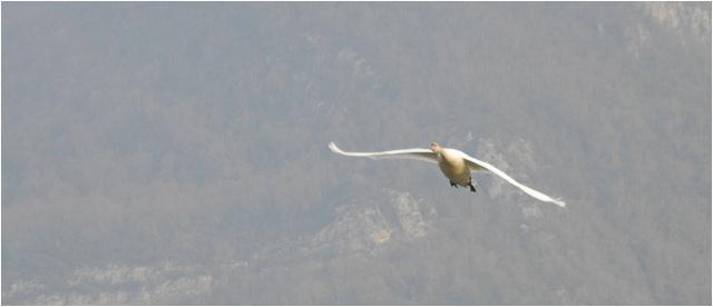 Un fil sur les oiseaux! Cygne311