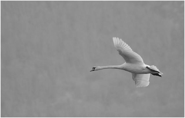 Un fil sur les oiseaux! Cygne411