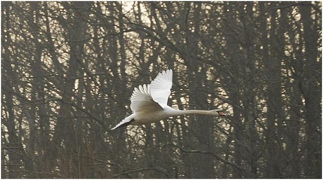 Un fil sur les oiseaux! Cygne_13