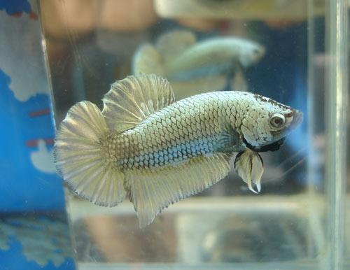 Achat de poissons en thailande Copper10