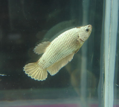Achat de poissons en thailande Femell11