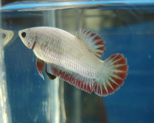 Achat de poissons en thailande Femell12