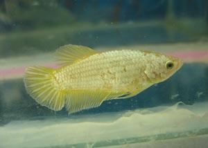 Achat de poissons en thailande Femgol10