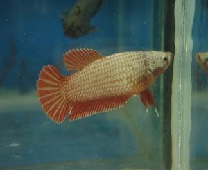 Achat de poissons en thailande Femsup10