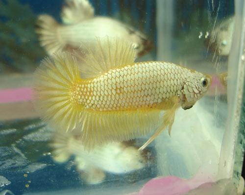 Achat de poissons en thailande Gold_b10