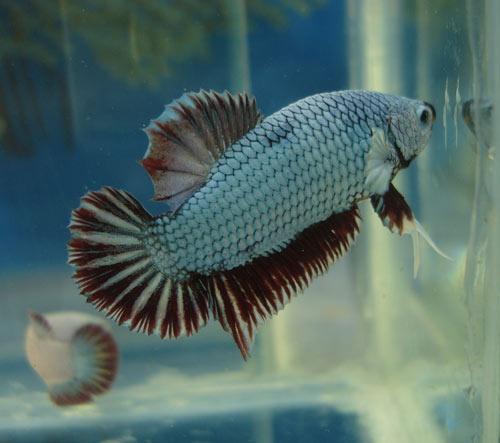 Achat de poissons en thailande Greend10