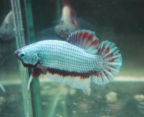 Achat de poissons en thailande Pkneng20
