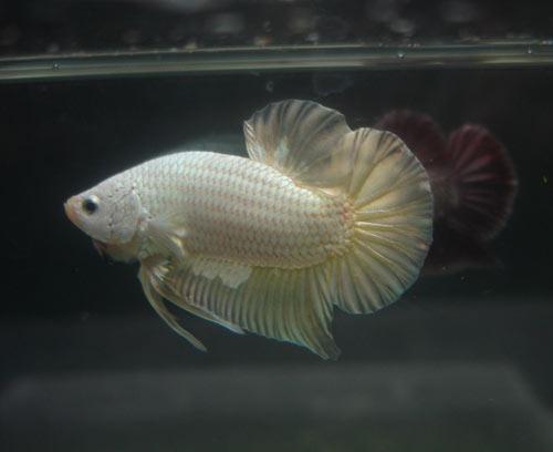 Achat de poissons en thailande Pkneng25