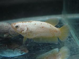 Achat de poissons en thailande Pkneng26