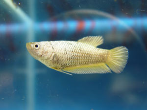 Achat de poissons en thailande Pkneng28