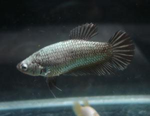 Achat de poissons en thailande Pkneng29