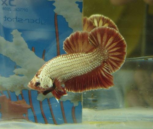 Achat de poissons en thailande Superr10