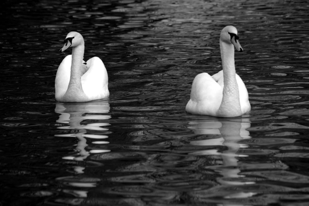 Swans Img_5010