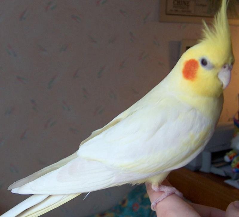 جميع انواع اسماء العصافير الطيور