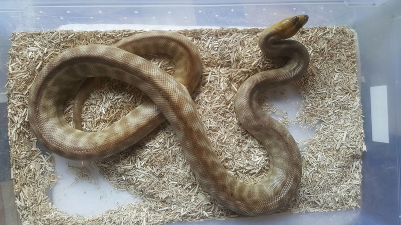 male woma