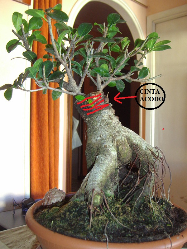 A ver mi ficus for Tierra para bonsais