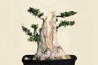 how to keep wild bonsai