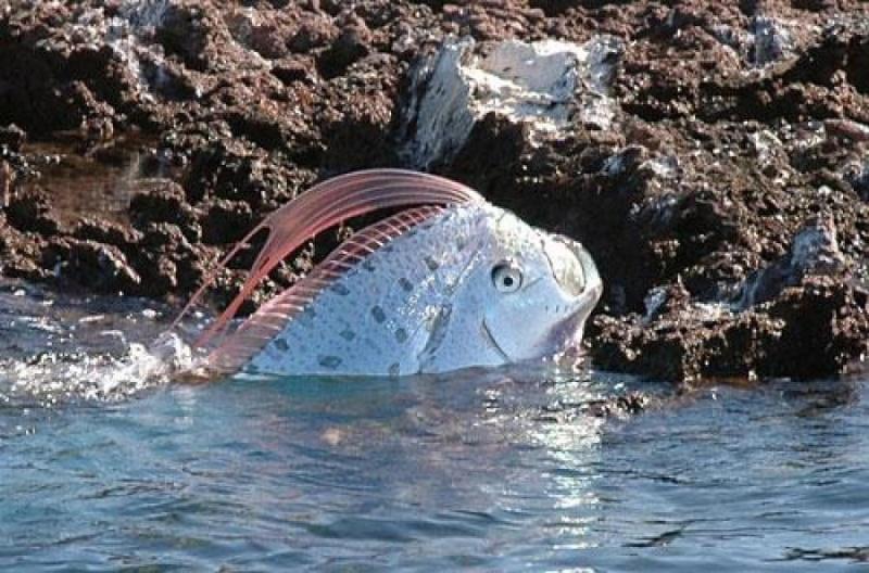 Fiche esp ce poisson ruban - Grand poisson de mer ...