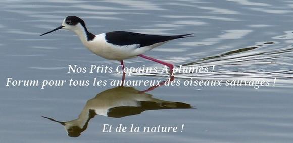 Forum sur les oiseaux sauvages : Nos p'tits copains à plume