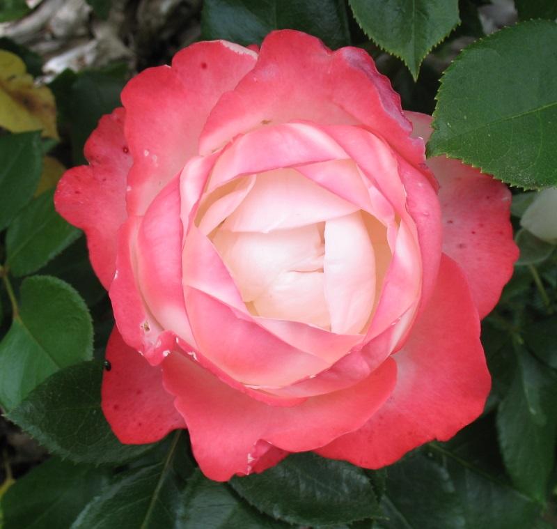 rose_n10.jpg