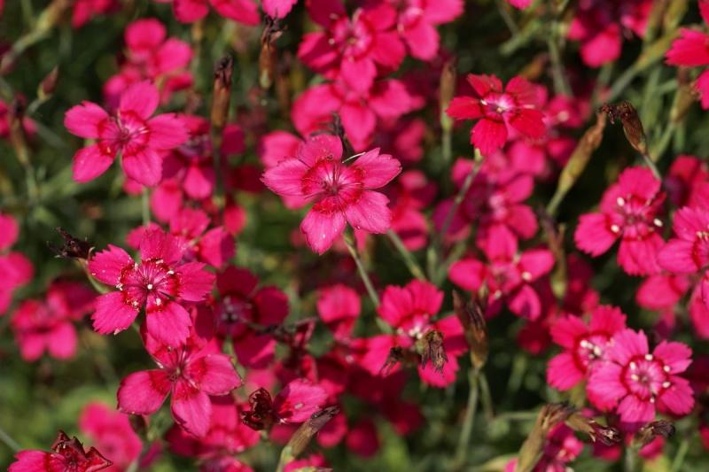 Photos de fleurs oeillet delta oeillet couch oeillet glauque dianthus deltoides - Vivace couvre sol longue floraison ...