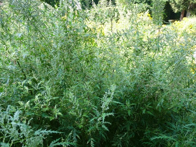 Photo de plante urticante ortie feuille de chanvre for Plante urticante