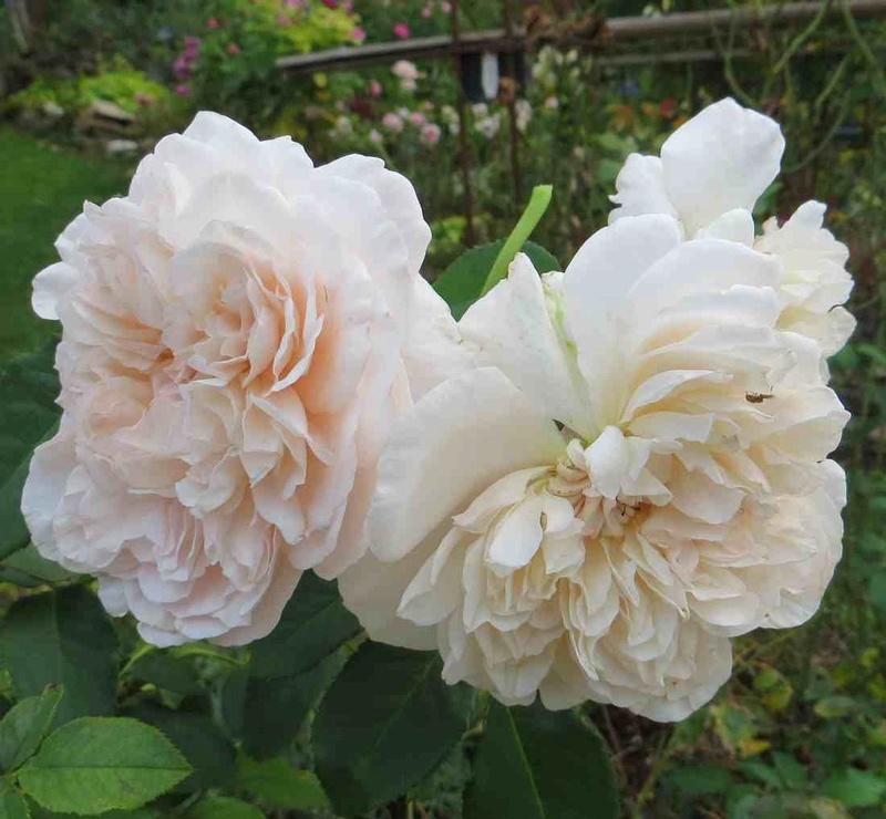 rose_d12.jpg