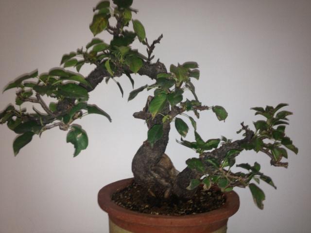 Ciliegio selvatico for Bonsai ciliegio