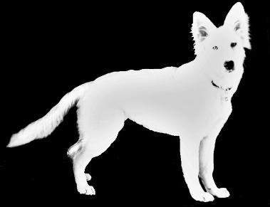 Hvit Gjeterhund Forum
