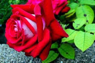 rose-r10.jpg