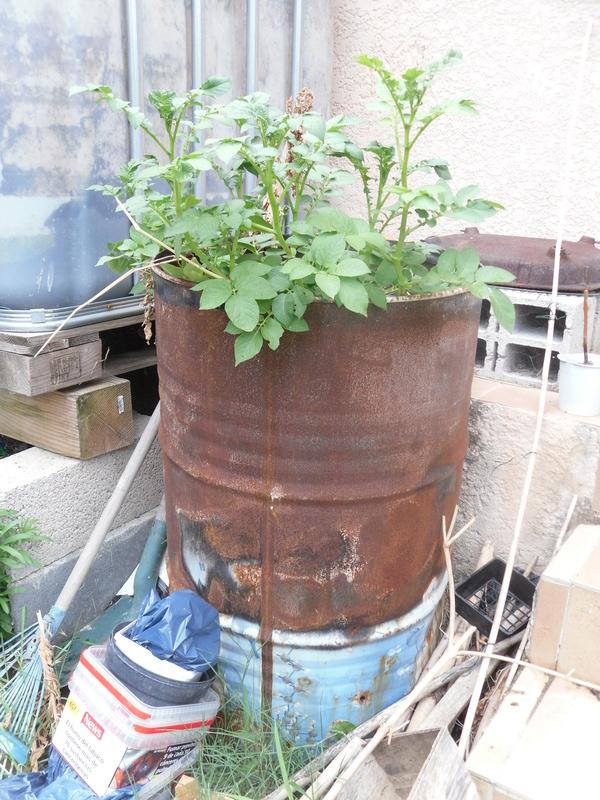 Planter les pommes de terre autrement - Planter des patates ...