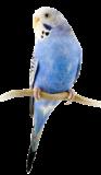 قسم طائر البادجي